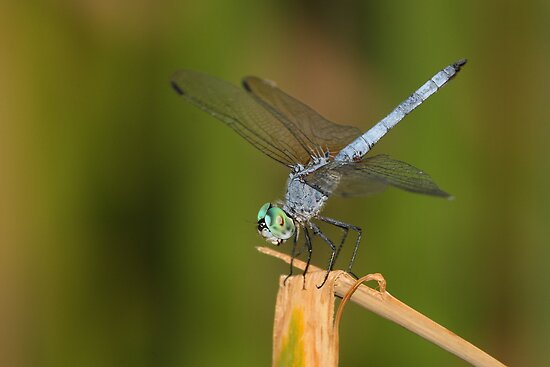 Blue dasher by ruth  jolly