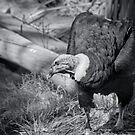 Black Vulture. by HanselASolera