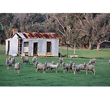Farm Shed and Sheep Photographic Print
