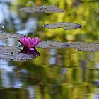Lily Reflection by Jillian Holmes