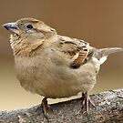 Little Sparrow by Bine