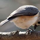 Tufted Titmouse Feeding by Bine