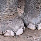 Elephant Toes  by Ethna Gillespie