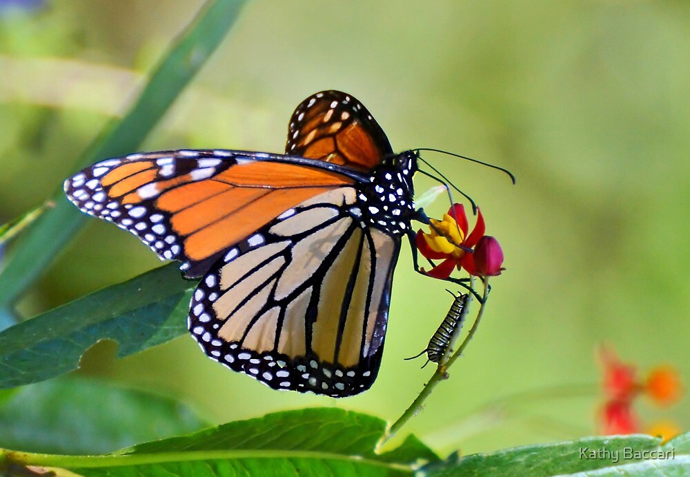 The Monarch & The Monarch Caterpillar by Kathy Baccari