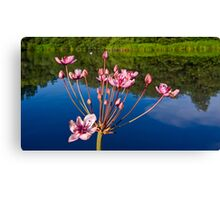 Flowering Rush Canvas Print