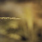 *Aureolus Triticum by GoldenRectangle