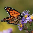 The Migratory Monarch by KatMagic Photography