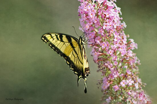 Eastern Tiger Swallowtail  by KatMagic Photography
