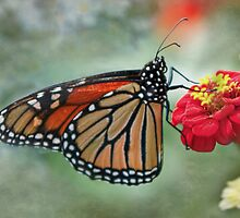 Monarch on Zinnia  by KatMagic Photography