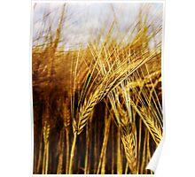 24 Carat Corn Poster