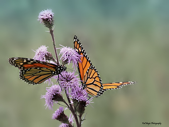 Monarch Duo by KatMagic Photography