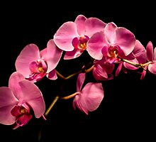 Pink Orchids 3 by onyonet photo studios