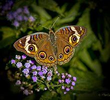 Buckeye Butterfly Wings Spread by Lightengr