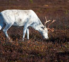 Reindeer by ilpo laurila