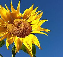 Sunflower and Blue Sky by Colleen Drew