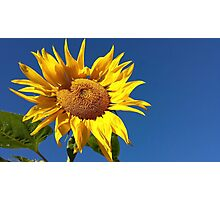 Sunflower and Blue Sky Photographic Print