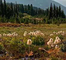 Pasqueflowers and Mt. Adams - Goat Rocks Wilderness by Mark Heller