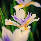 Flowerscapes - Fairy Iris by lesslinear