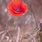 LAST POPPY by Guido Montanes