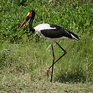 Saddle-billed Stork (Ephippiorhynchus senegalensis), Ol Pejeta, Kenya by Neville Jones