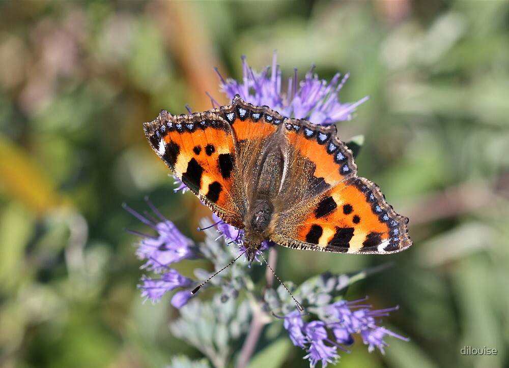 Small Tortoiseshell by dilouise