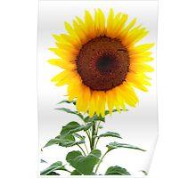 Luminescent Sunflower Poster