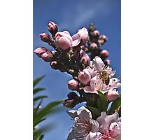 Spring Bee on Peach Flowers! Photographic Print