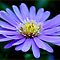 IN BLUE - THE MICHAELMAS DAISY - Aster novi-belgii by Magaret Meintjes