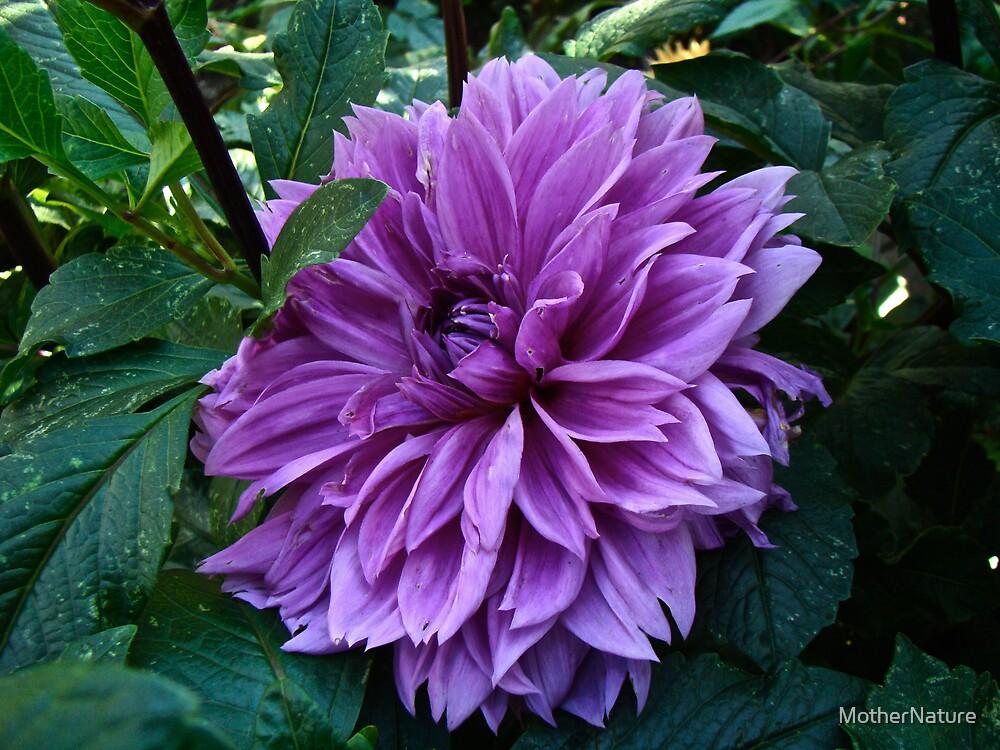 Purple Haze Dahlia by MotherNature
