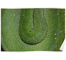 Water droplets on Green Tree Python skin  Poster