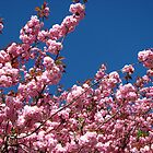 Pink Blossoms and Blue Sky by MidnightMelody