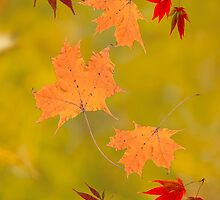 Falling red gold autumn leaves sugar and Japanese maple by Mariannne Campolongo