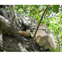 Iguana..... Photographic Print