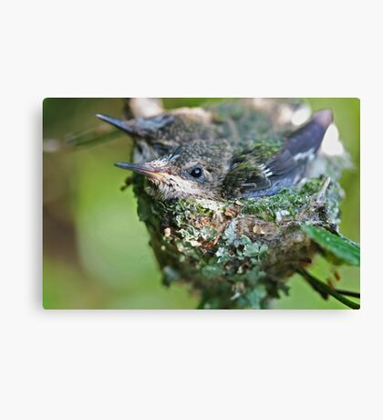 Hummingbird Babies II: Snug In the Nest Canvas Print