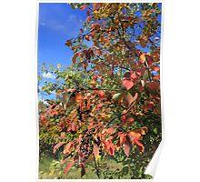 Chokecherry tree in Autumn Poster