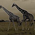 Giraffes in Africa by oftheessence
