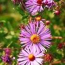 Purple Daisy's  by Adam Kuehl