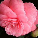 Camellia - Villa Carlotta by kkmarais