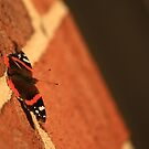 Butterfly on Brick by Adam Kuehl