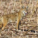 Coyote in cornfield by Bryan  Keil