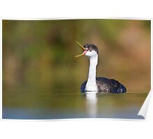Western Grebe calling Poster