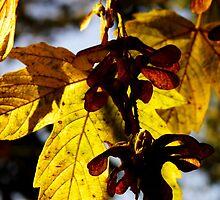 bigleaf maple leaf and seeds by dedmanshootn