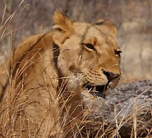 Lion Bored  by SheryleMoon