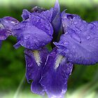 Iris. by Bette Devine