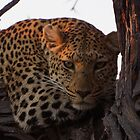 Leopard eyeing off Tourist Food below by SheryleMoon