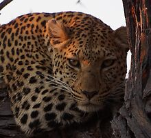Leopard eyeing off Tourist Food below by SheryleMoon