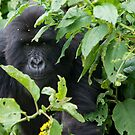 Juvenile Mountain Gorilla, Rwanda by Neville Jones