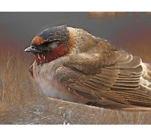 Sleeping Swallow Photographic Print