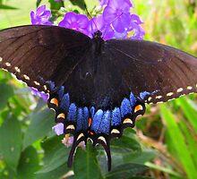 Black swallowtail on summer Phlox by Samohsong