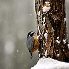 Red Breasted Nuthatch  by schesnut